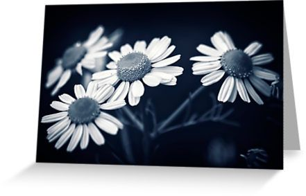 A patch of wild daisy flowers in black and white. Macro flower photography • Also buy this artwork on stationery, apparel, stickers, and more.
