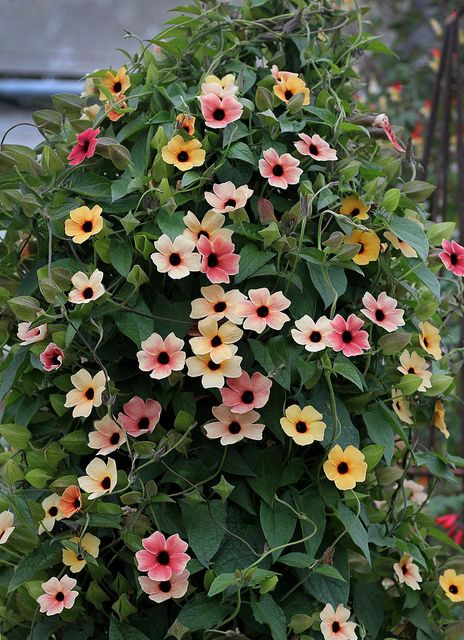 65 best garden flowering vines climbers images on pinterest black eyed susan vinespanish eyes thunbergia alata climbing vinesclimbing plants fast growingfast mightylinksfo