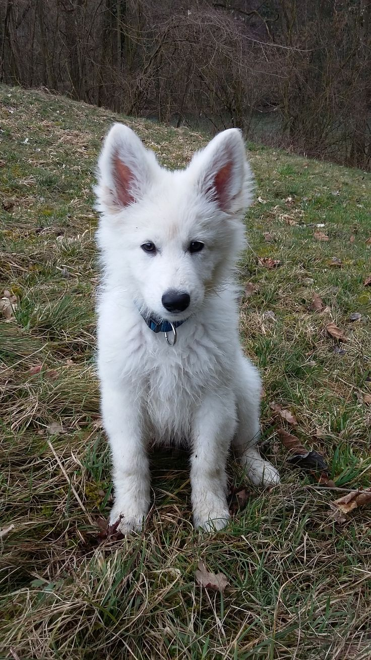 Chinook Weißer Schweizer Schäferhund | Pawshake Neufurth