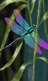 My favorite of the entomology world- the dragonfly. ~☆~