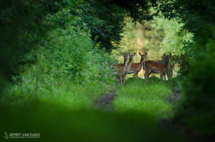 Fallow Deer by Jeffrey Van Daele on 500px