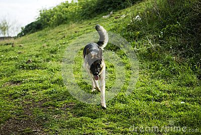 German Shepard Dog In Park - German shepard dog running in park. Photo taken on: March 23rd, 2015 © Morgan Capasso