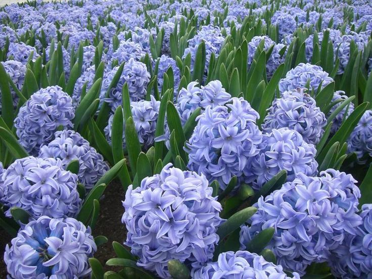 Purple Hyacinth....Love this flower...smells amazing...to bad it only blooms once in early spring :0(