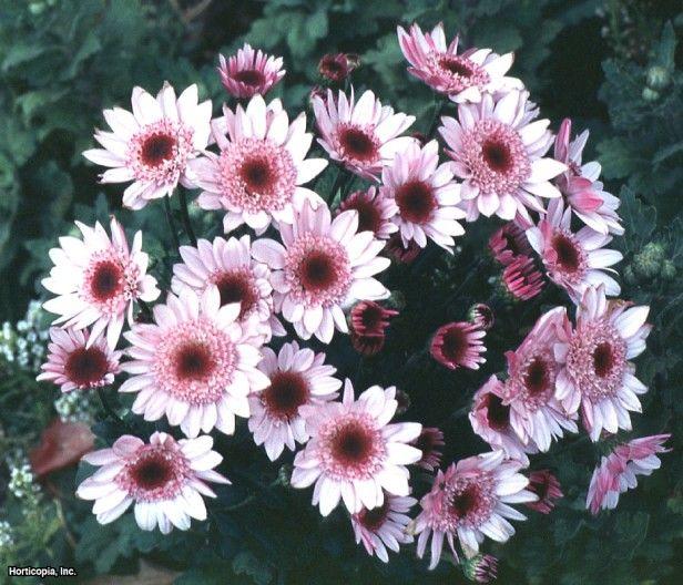 "Florist's Chrysanthemum (Dendranthema x grandiflorum)- Height: 12.0"" to 48.0"" Spread: 24.0"" to 36.0"" Light Exposure: Partial Sun to Full Sun Growth Rate: Average Moisture: Moist Salt Tolerance: Medium"