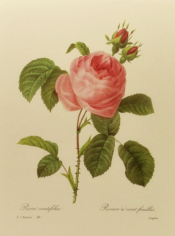 botanical print redoute rose wall hanging french home decor to frame pink flower