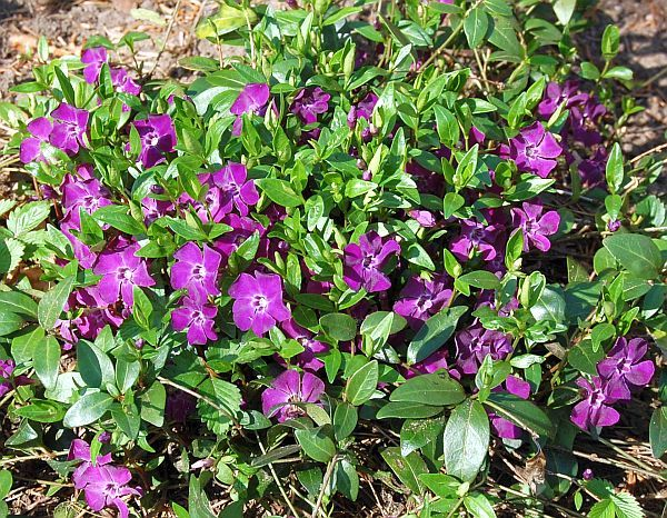 Kaugasus Vergissmeinnicht mit blauen Blüten