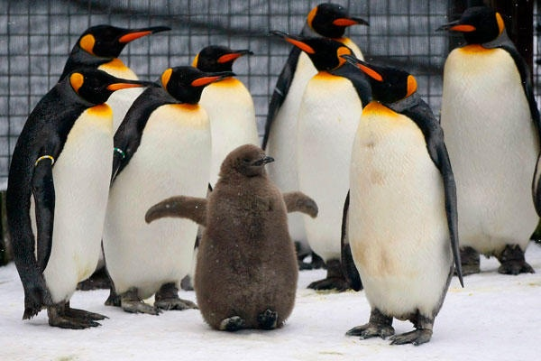 A two-month-old king penguin chick lifts the ends of its feet off the frozen ice and snow at its enclosure in the Edinburgh Zoo in Scotland. The chick is the first king penguin to be born at the zoo in over five years. (David Moir/Reuters)