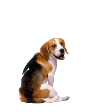 Beagle - The Beagle is a medium-sized breed belonging to the hound sporting group. Though many variations of this breed have existed throughout history, the modern breed emerged in England in the early 1800s. The Beagle is a popular choice for pet owners because of its size and calm temperament, and is useful for hunters because of its sharp sense of smell.