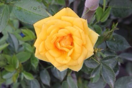 Trandafir galben, ideal pentru o curte frumoasa