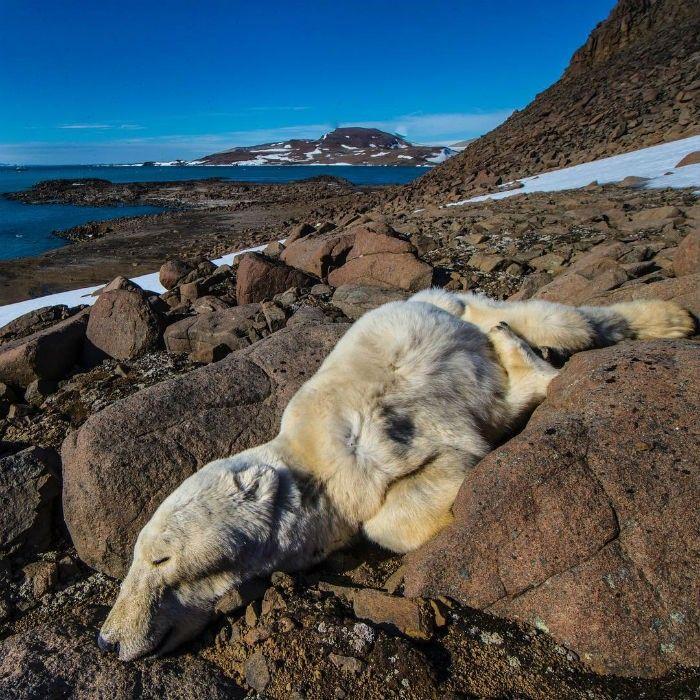 Oso polar muerto por inanición