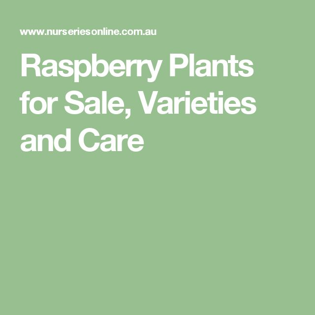 Raspberry Plants for Sale, Varieties and Care