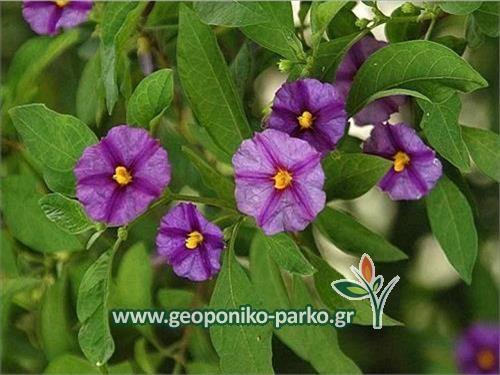 Αειθαλείς ανθοφόροι θάμνοι : Σολάνουμ μπλέ | Solanum rantonnetii