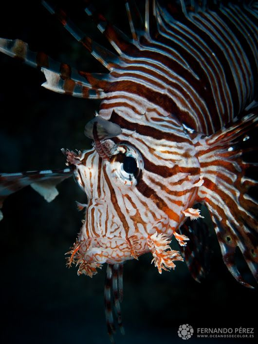 Un estupendo ejemplar de Pez León y uno de los peces más venenosos del océano...