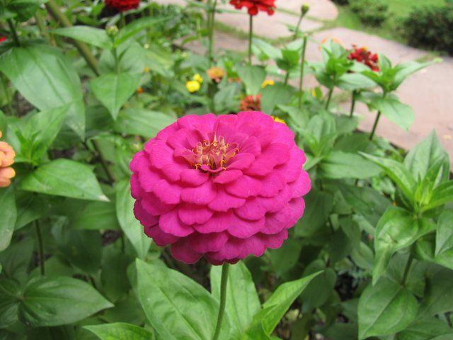 Growing-ZInnas-Zinnia-Flower-picture