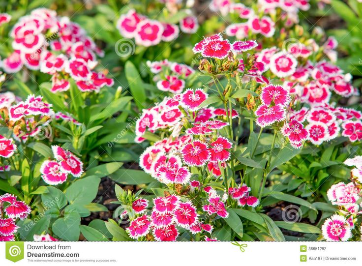 11 best images about flores chinas on pinterest flower for Rosas chinas