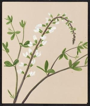 From the collection at Andersen Horticultural Library. Emma Roberts (1859-1948), a watercolorist from Minneapolis, founded the Handicraft Guild, and was supervisor of drawing for Minneapolis Public Schools. Emma painted Baptisia leucantha (False Indigo) in Minneapolis. It is dated June 28, 1883.