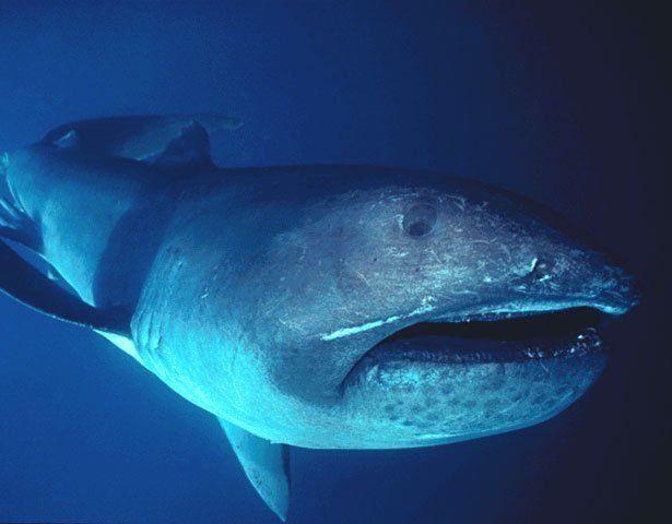 FOUND: An Ancient Megamouth Shark