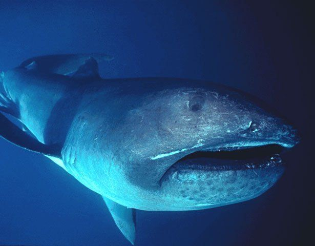 FOUND: An Ancient Megamouth Shark