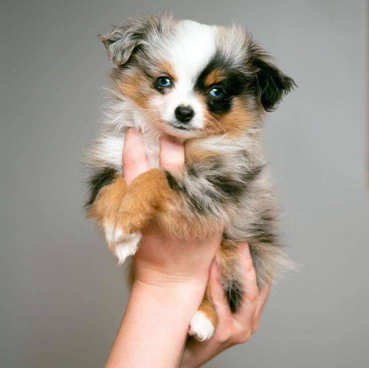 cute toy australian shepherd puppy - @mishabarkton  #puppies #puppy #dog #cutepuppies #puppygram #cutepuppy #pups #pup #love #bae #cutepet #doglover #pet #australianshepherd #dogmodel #adorable #puppymodel #puppyoftheday #dogoftheday #cute #happy #mishabarkton #toyaussie #miniaussie #toypuppy #aussie #blueeyes #bluemerle #tiny #teacup