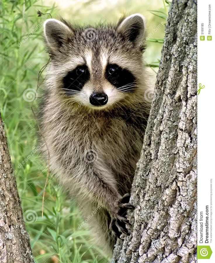 free hq baby raccoon - photo #1