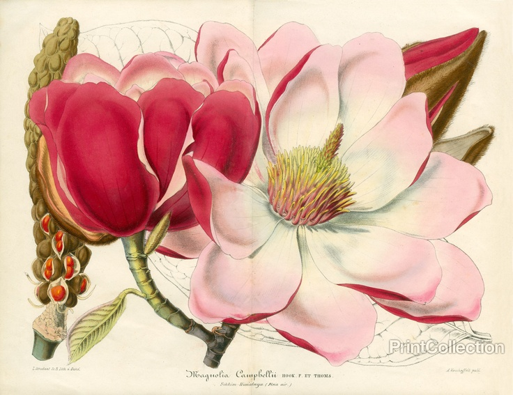 Lots of great botanicals for only $16.99. Put a bunch in a Change of Art® frame, and you can have fresh flowers all year long. Magnolia Campbellii 8x10 prints are only $16.99