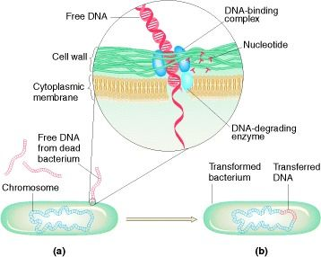 Figure 7-16. Bacterium undergoing transformation (a) picks up free DNA released from a dead bacterial cell.