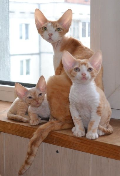 Adorable Cornish Rex Kitties! :) -- I would call them Butterscotch, Merino, and Karen.