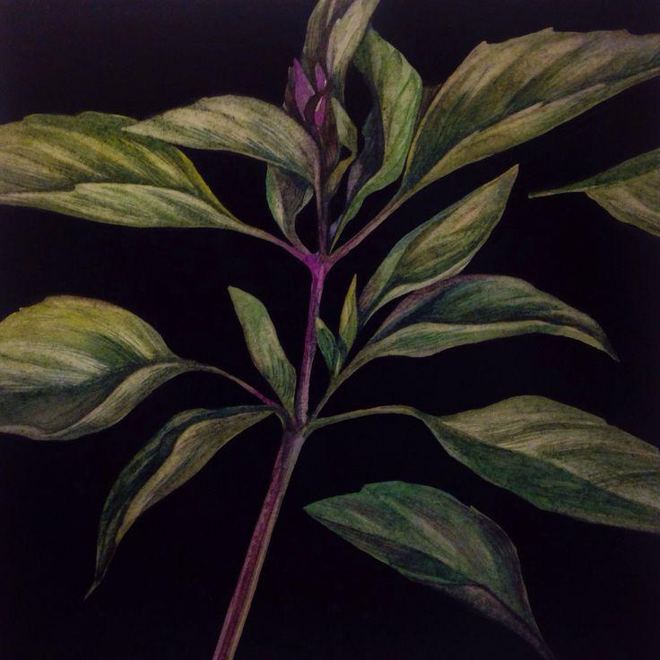 Thai basil Watercolor