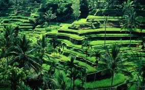 beauty of the rice fields of Bali<3