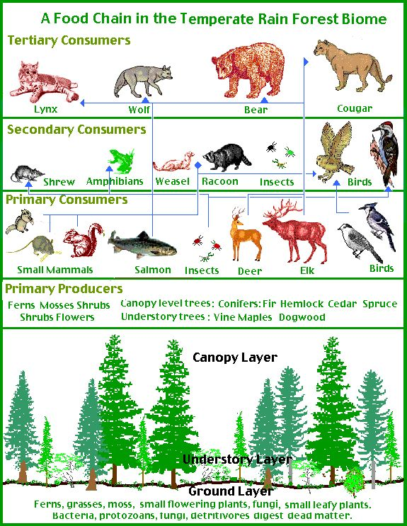 Temperate Forest Food Chain This is where I live! Animals from black bears to wild turkeys. Adaptability of the animals to survive winter season: Some stay active, some migrate or hibernate where others like insects lay eggs then die.
