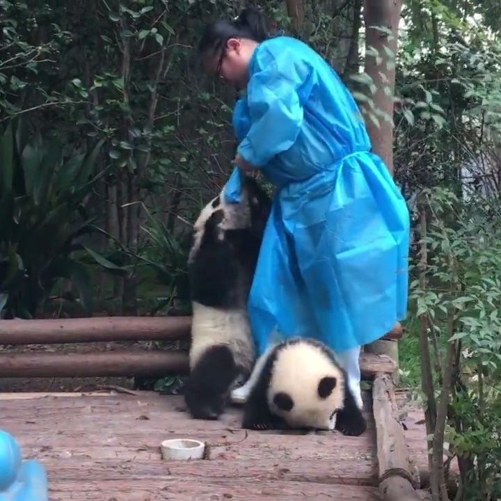 """""""You're really naughty Zhi Ma(芝麻)""""the nanny said  @pandalagift CYBER MONDAY SALE!  Get 50% OFF on most of stuffed animals only for the next 24h!   Click the link in my bio @pandas_in_china to get yourself a panda!  Video by ipanda熊猫频道"""