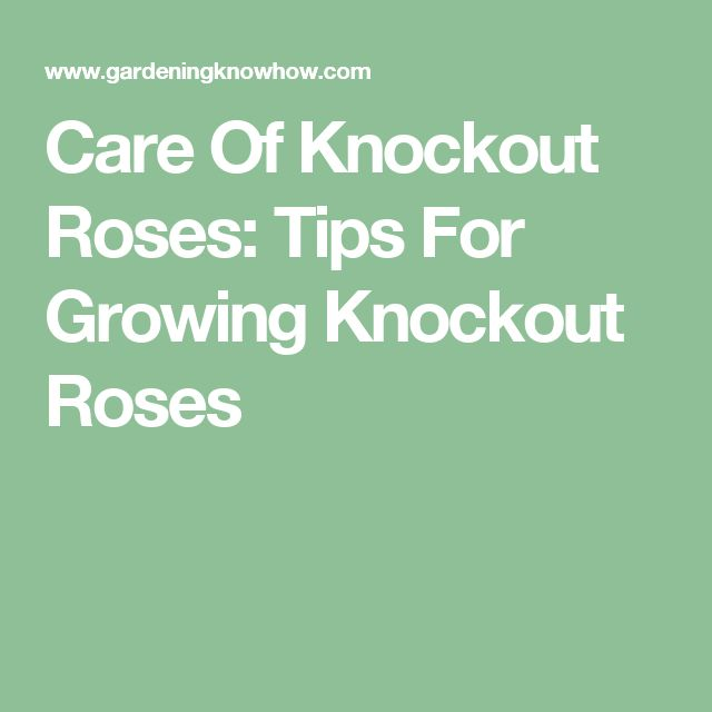 Care Of Knockout Roses: Tips For Growing Knockout Roses