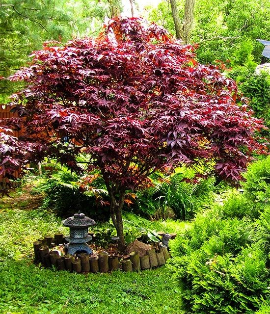 This stunning Bloodgood Japanese Maple is spectacular. So many varieties available from @thetreecenter