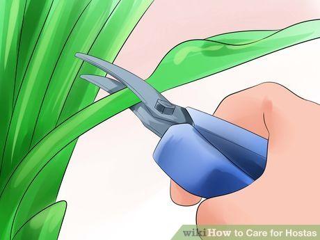 Image titled Care for Hostas Step 7