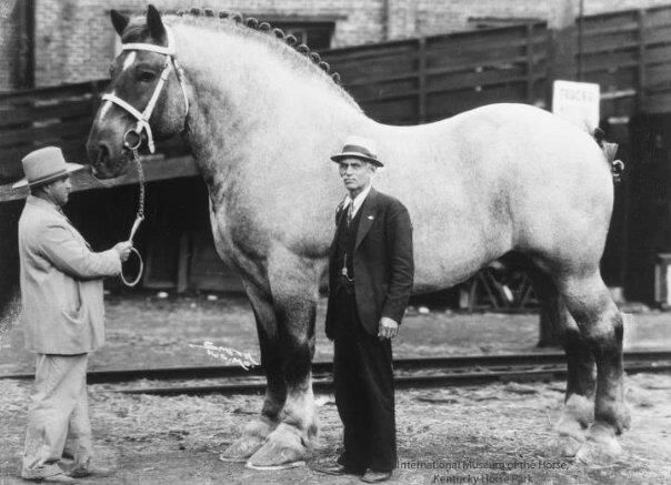 """1928-1948: Brookie, the largest horse ever recorded. """"The world's largest horse was a Belgian Draft named Brooklyn Supreme, who weighed 3,200 lb (1,500 kg) and stood at 19.2 hands (1.98 m)."""""""