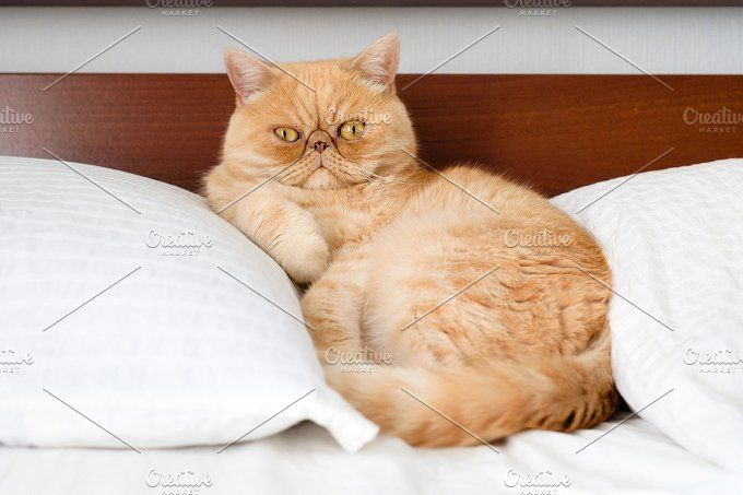 Exotic ginger persian cat on the bed by The baking man on @creativemarket
