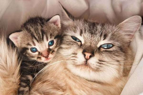Cuánto Dura El Embarazo O Gestación De Una Gata Gatos Gata Preñada Mascotas