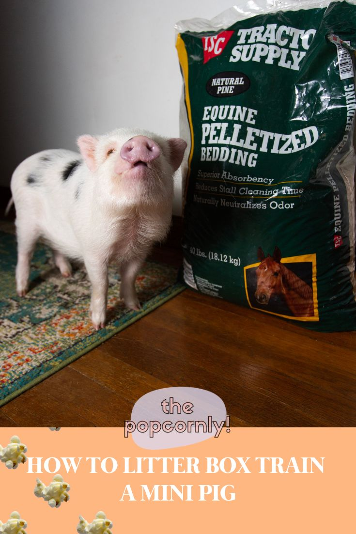 How to potty train a mini pig with a litter box pet pig