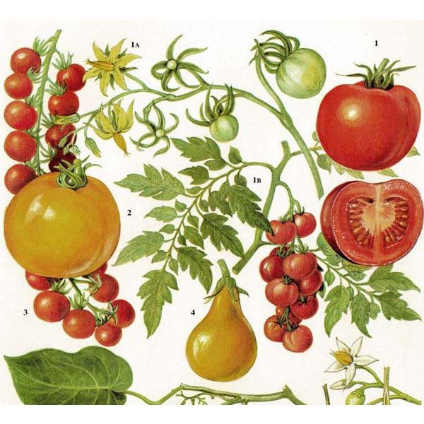 Tomatoes Fruit & Flowers Food Chart Vegetable Botanical Lithograph…