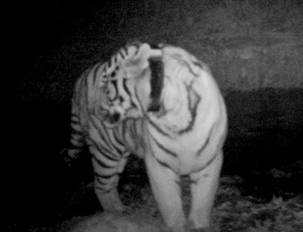 Camera-trap captures released Russian tiger Kuzya thriving in China
