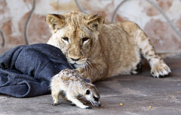 Marcel Tournier's pet meerkat Bob interacts with Zinzi the lioness at the family home near Sun City, South Africa