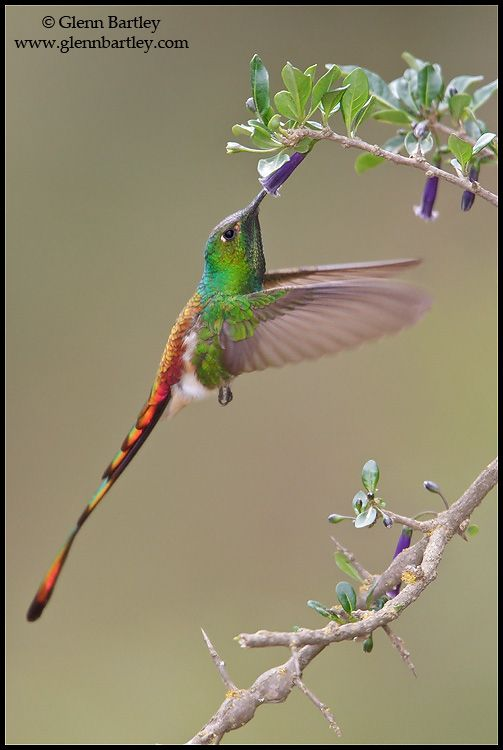 Red-tailed Comet (Sappho sparganura) flying while feeding at a flower in Bolivia, South America.  Caption and Bird Photography by Glenn Bartley.