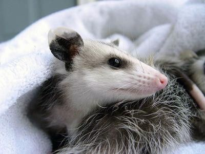 Opossums, like most marsupials, have unusually short life spans for their size and metabolic rate. The Virginia opossum has a maximal life span in the wild of only about two years. Even in captivity, opossums live only about four years. The rapid senescence of opossums is thought to reflect the fact that they have few defenses against predators; given that they would have little prospect of living very long regardless, they are not under selective pressure to develop biochemical mechanisms…