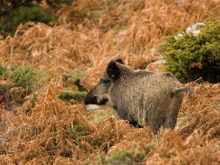 Jabalí - wild zwijn