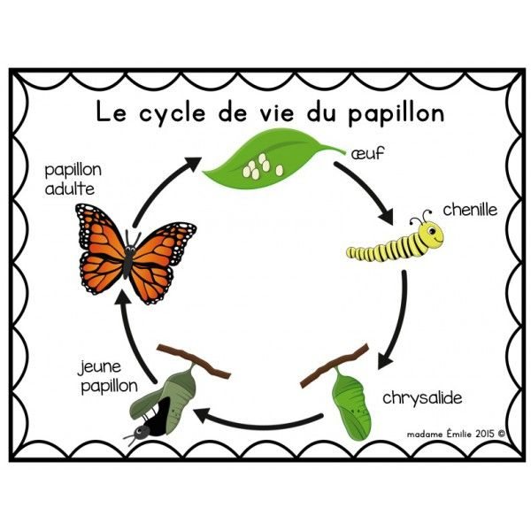 Cycle de vie Papillon Plus