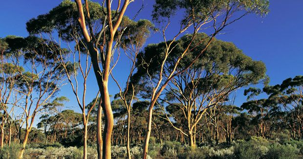The Liberal Party has argued that planting 20 million trees will reduce Australia's carbon emissions, but Derek Eamus wonders if it's a good idea.