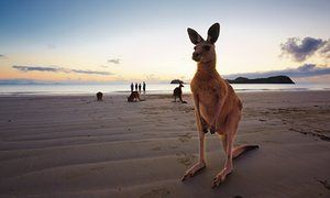 Wallabies on the beach at Cape Hillsborough and platypus in Eungella