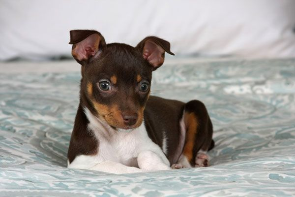 Rat Terrier puppy by Shutterstock and with Puck's puppy markings!