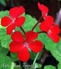 Resultado de imagen de geranios flor