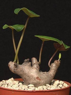 Peperomia cyclaminoides